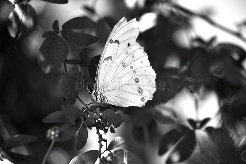 Witte Morpho-vlinder royalty-vrije stock foto's