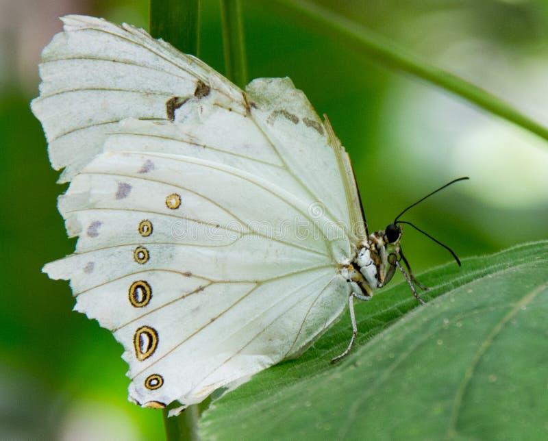 Witte Morpho-Vlinder - Morpho-polyphemus stock afbeelding