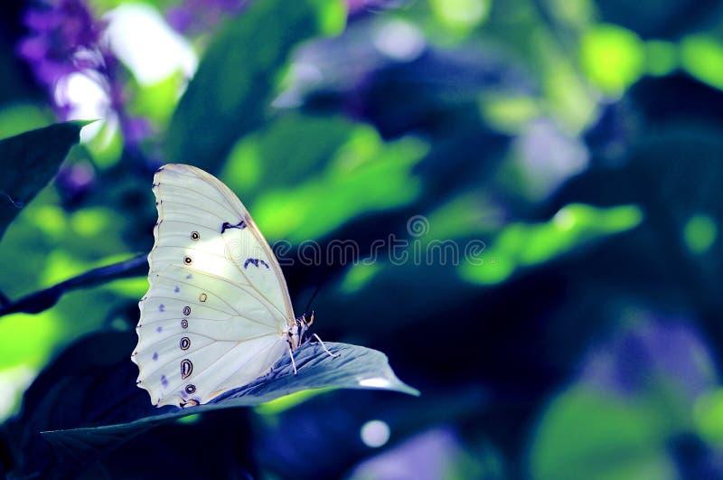 Witte Morpho-vlinder op blauwgroene achtergrond royalty-vrije stock afbeeldingen