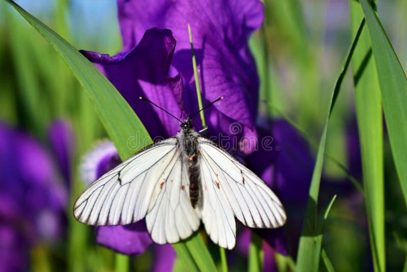 Witte mot op blauwe iris stock fotografie