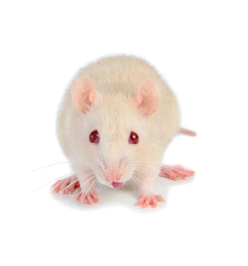 Witte muis stock foto