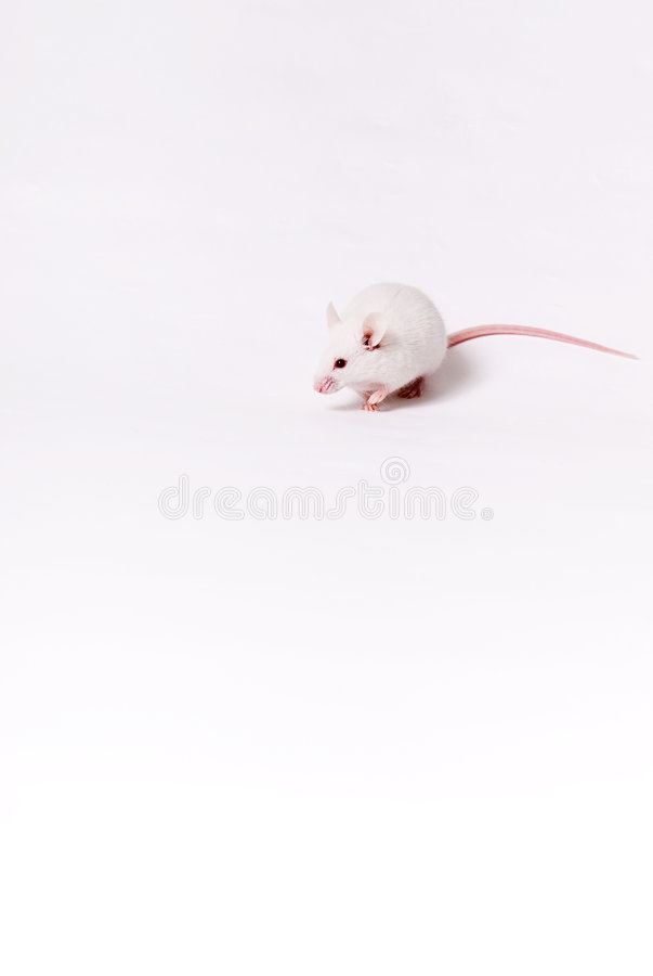 Witte muis royalty-vrije stock fotografie