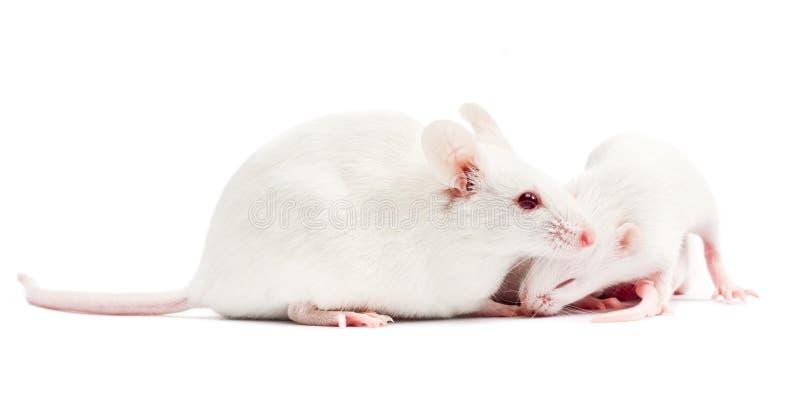 Witte muizen stock foto
