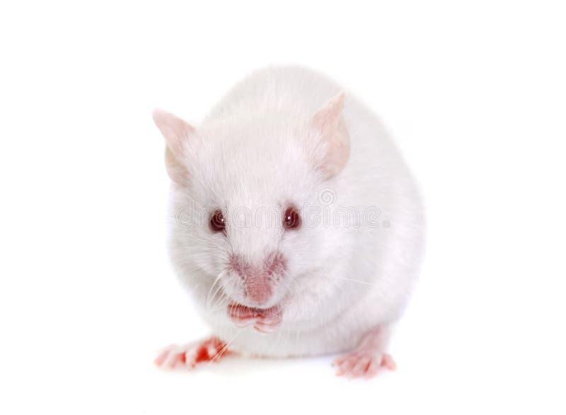 Witte muis in studio stock foto