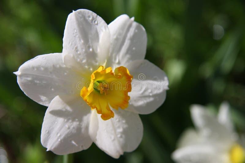 Witte narcissenbloem royalty-vrije stock fotografie