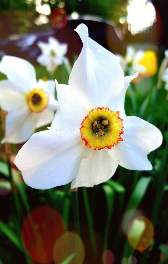 Witte narcissenbloem in de tuin royalty-vrije stock afbeelding