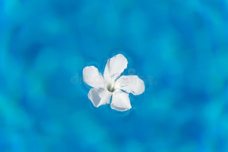 Witte oleanderbloem die in zonnig zwembad drijven stock afbeelding