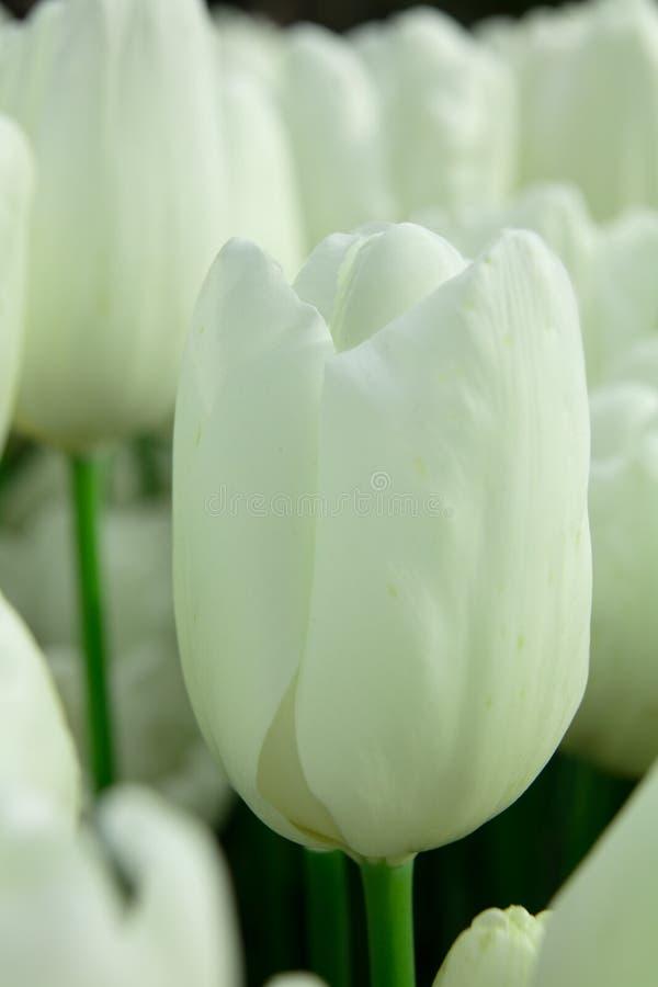 Witte omhoog geschoten Tulpen macro dicht stock foto's