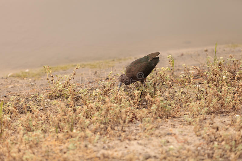 Witte onder ogen gezien ibis, Plegadis-chihi royalty-vrije stock foto's