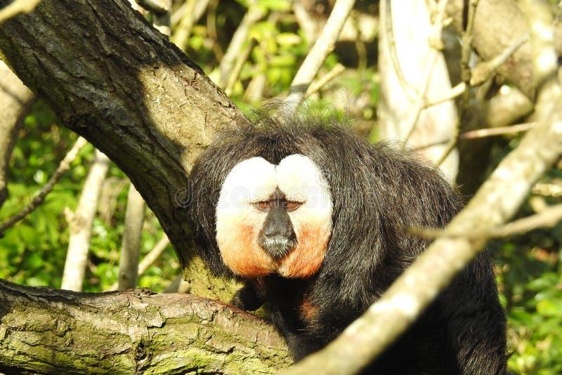Witte Onder ogen gezien Saki Monkey/Pithecia Pithecia royalty-vrije stock afbeeldingen