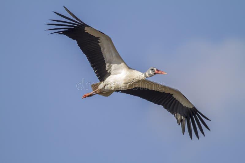 Download Witte Ooievaar (Ciconia-ciconia) Stock Foto - Afbeelding bestaande uit vogel, voor: 54089192