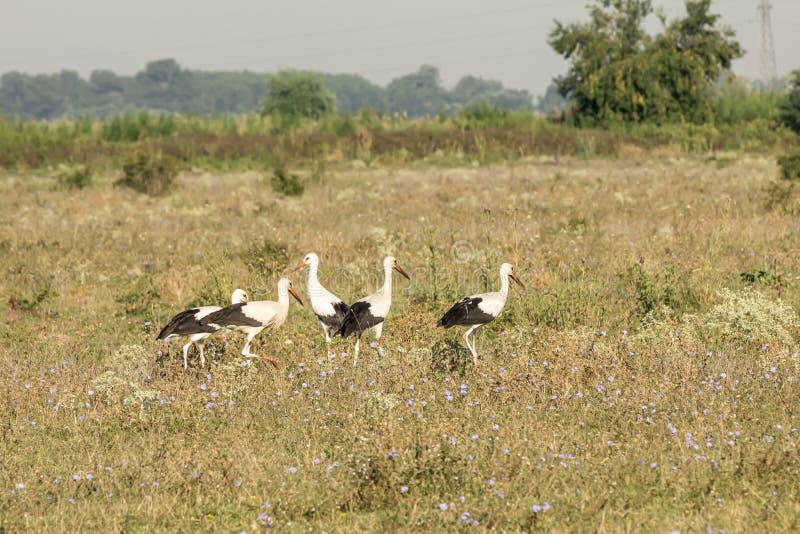 Witte ooievaar, Ciconia ciconia, familie Ciconiidae Animalia, Chordata, Aves, Ciconiformes stock fotografie