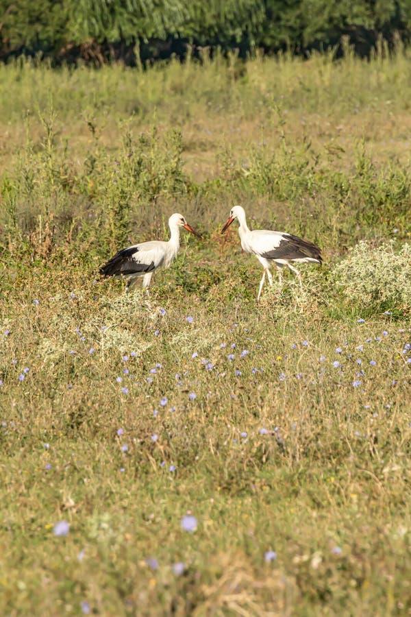 Witte ooievaar, Ciconia ciconia, familie Ciconiidae Animalia, Chordata, Aves, Ciconiformes stock afbeelding