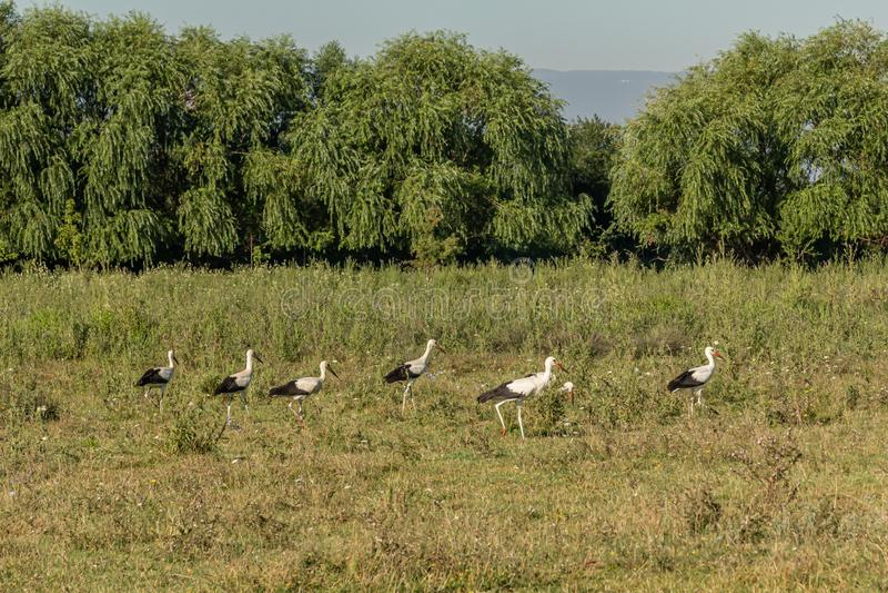 Witte ooievaar, Ciconia ciconia, familie Ciconiidae Animalia, Chordata, Aves, Ciconiformes stock afbeeldingen