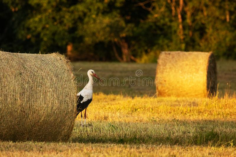 Witte ooievaar die wat voedsel in de avond zoeken royalty-vrije stock foto's