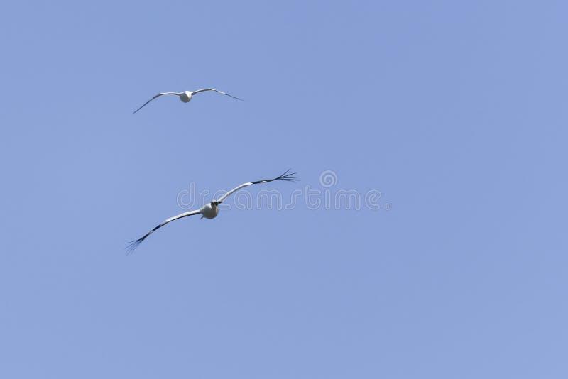 Witte ooievaar en zeemeeuw die in de hemel vliegen stock afbeeldingen