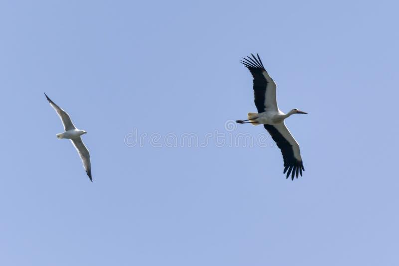 Witte ooievaar en zeemeeuw die in de hemel vliegen royalty-vrije stock afbeelding