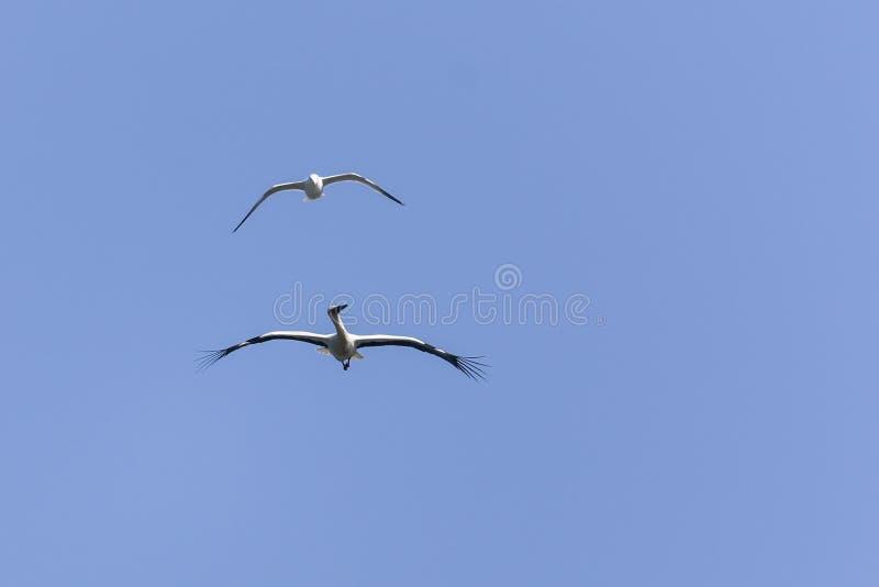 Witte ooievaar en zeemeeuw die in de hemel vliegen stock fotografie