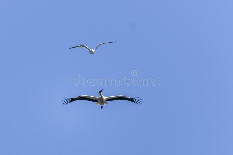 Witte ooievaar en zeemeeuw die in de hemel vliegen stock foto's