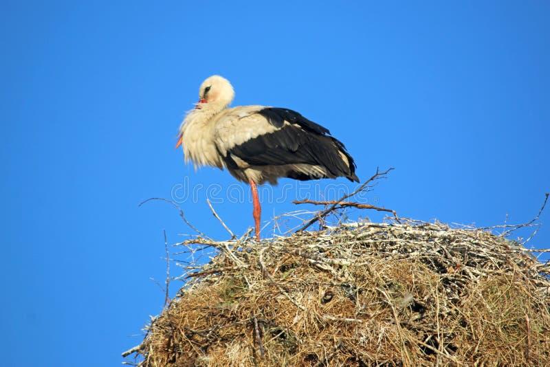 witte ooievaar op een nest royalty-vrije stock afbeeldingen