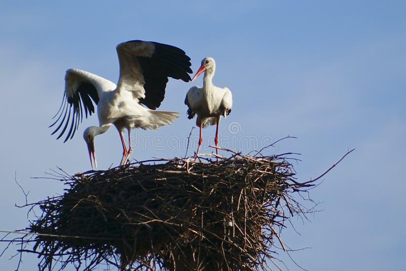 Witte ooievaar twee met rode bek en zwarte vleugels die in zijn nest zitten stock fotografie