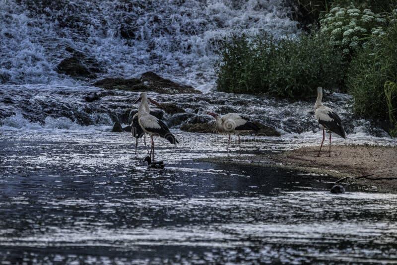 Witte ooievaars die in een rivier voeden stock afbeeldingen
