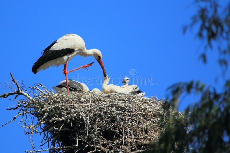 Witte ooievaarsfamilie stock foto