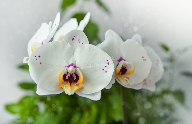 Witte orchideeën met purpere vlekken en geel centrum Bloeiwijzen op een bokehachtergrond stock fotografie