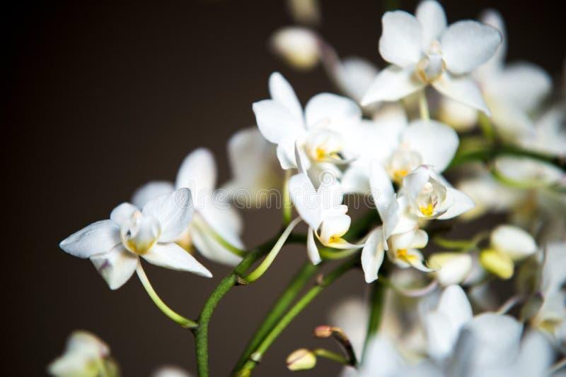 Witte orchideeën op zwarte achtergrond en groene stammen royalty-vrije stock afbeelding