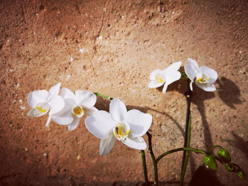 Witte orchideeënbloemen royalty-vrije stock foto's