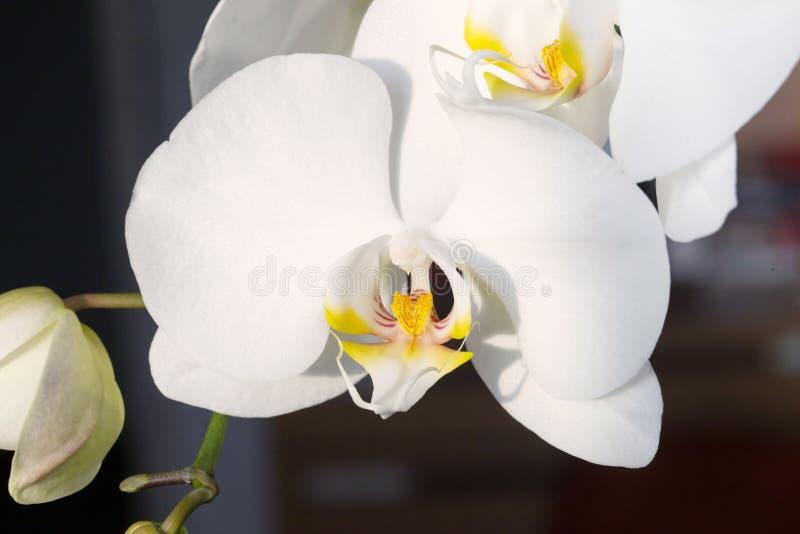 Witte orchidee, macrofotoclose-up stock fotografie