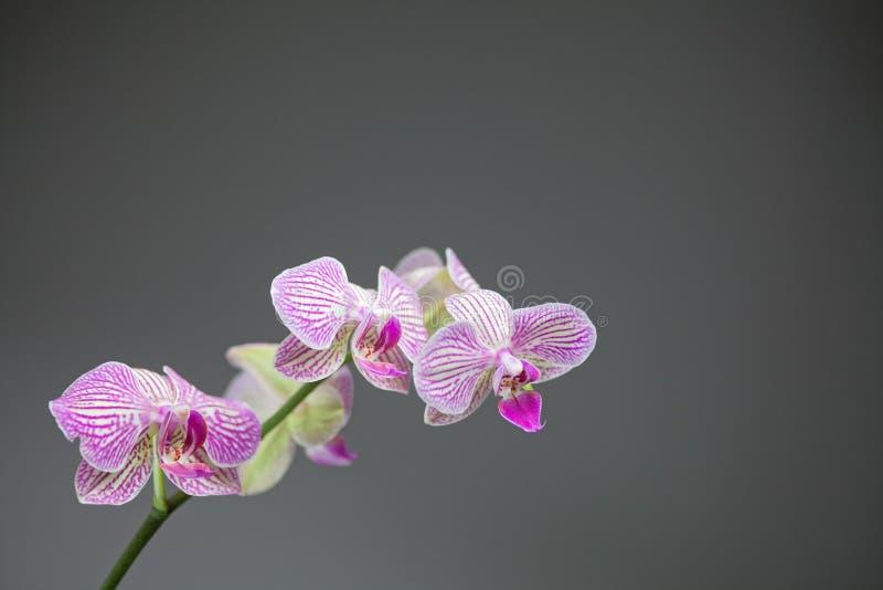 Witte orchidee met roze strepen royalty-vrije stock foto