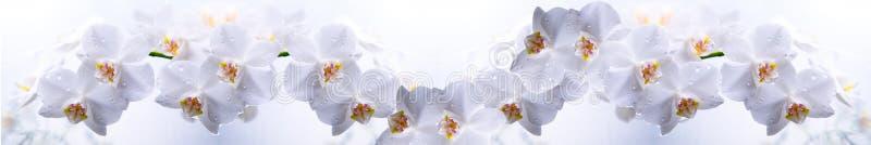 Witte orchidee op een wit royalty-vrije stock afbeeldingen