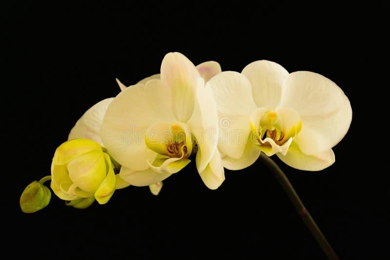 Witte Orchidee op zwarte achtergrond royalty-vrije stock afbeeldingen
