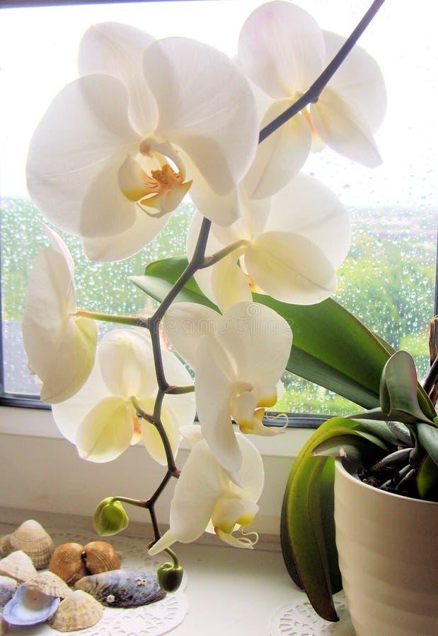 Witte orchidee in pot op vensterbank stock foto's