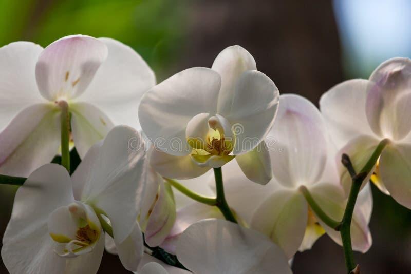 Witte orchideebloei stock foto's
