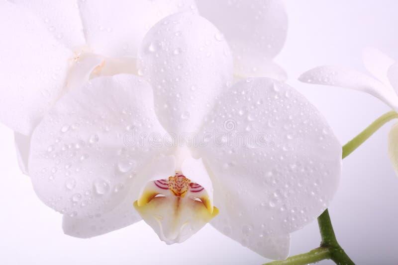 Witte orchideebloem met de macro van waterdruppeltjes stock foto
