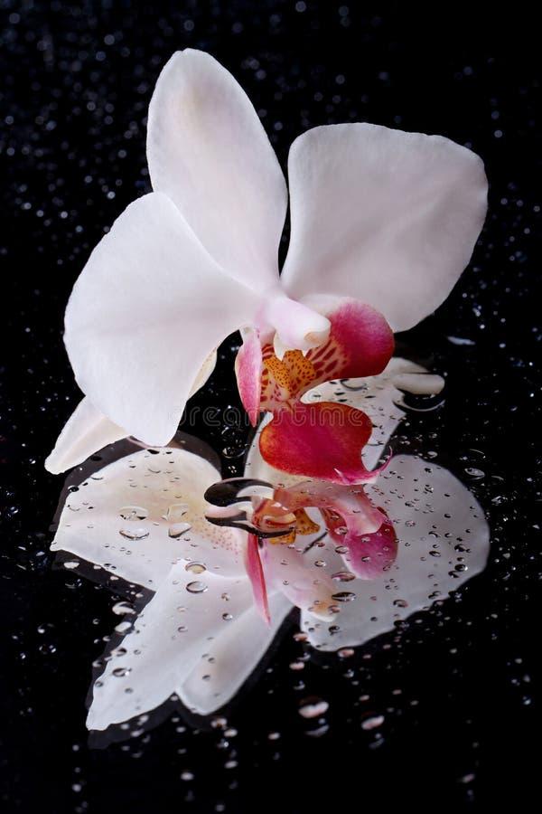Witte orchideebloem met waterdruppeltjes op zwarte stock fotografie