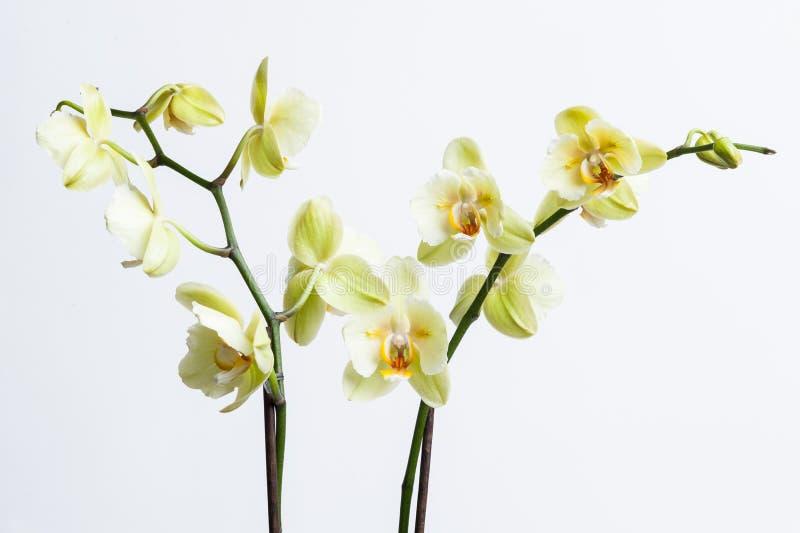 Witte orchideebloemen royalty-vrije stock fotografie