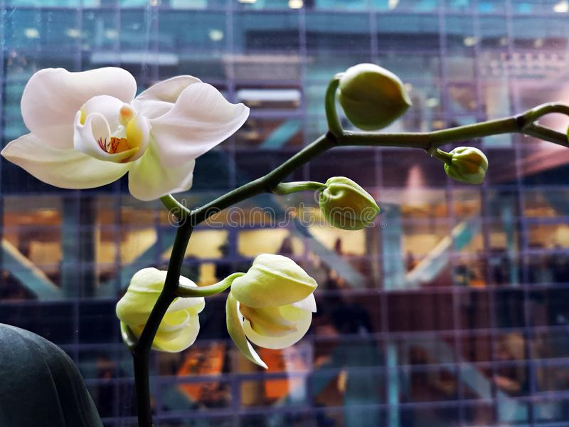 Witte orchideebloemen die bij het bureauvenster bloeien royalty-vrije stock afbeeldingen