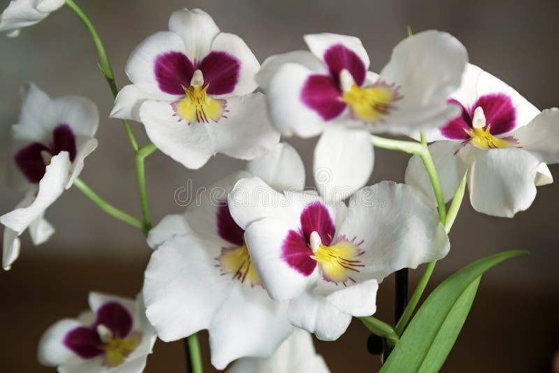 Download Witte Orchideebloemen Op Het Venster Stock Afbeelding - Afbeelding bestaande uit bloemblaadje, rood: 114228333