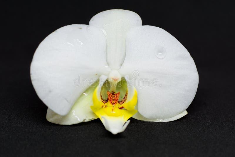 Witte orchideebloesem op zwarte achtergrond stock foto