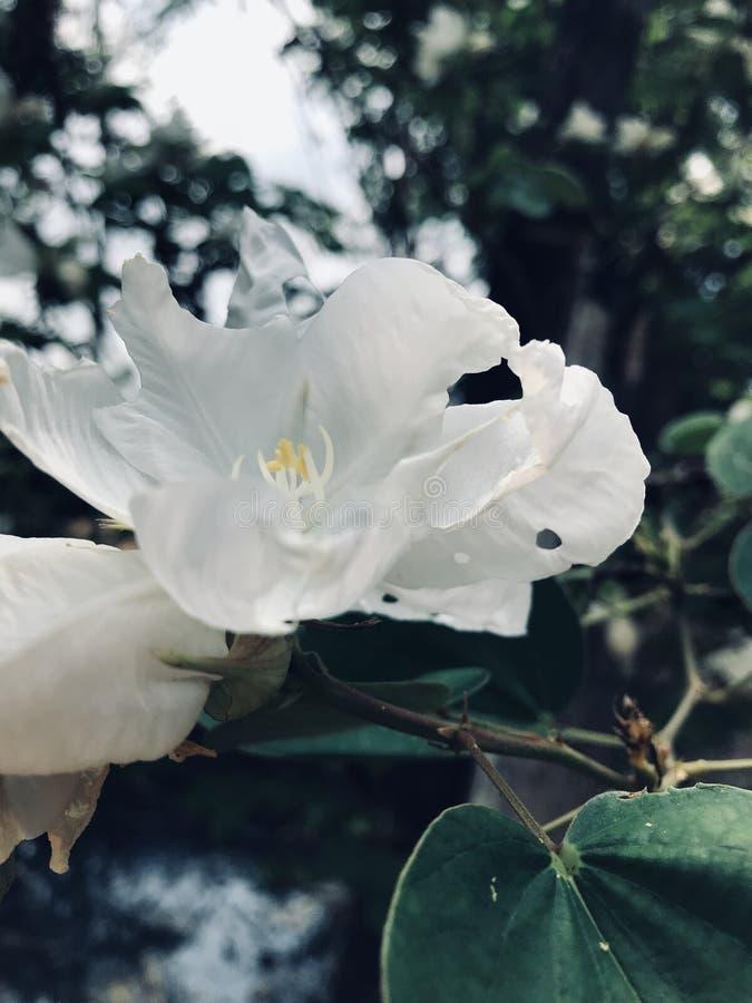 Witte orchideeboom stock foto's