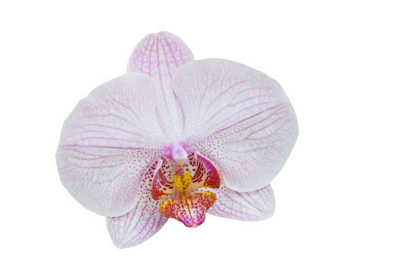 Witte orchideemacro stock fotografie