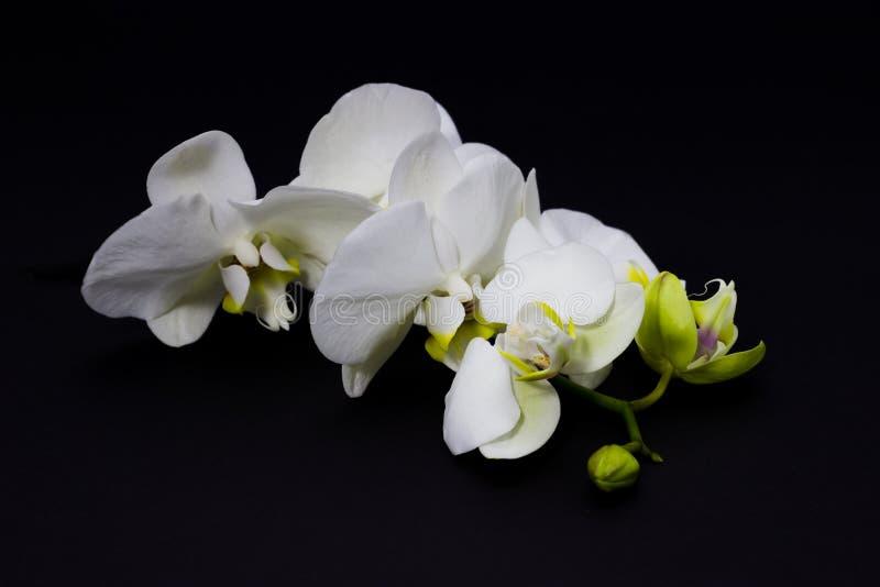 Witte orchideephalaenopsis op een donkere achtergrond, plaats voor uw tekst stock foto