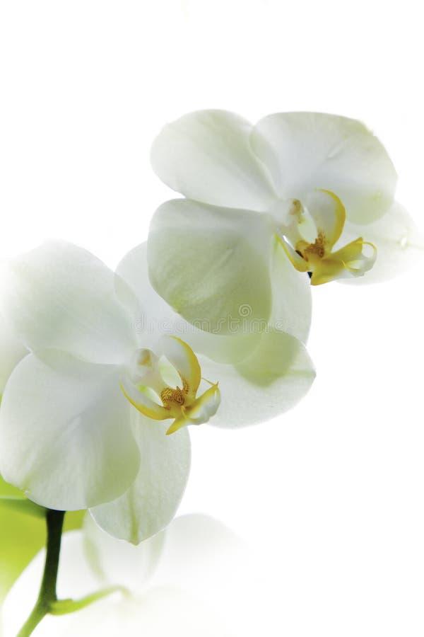 Witte orquidbloem sier royalty-vrije stock afbeeldingen
