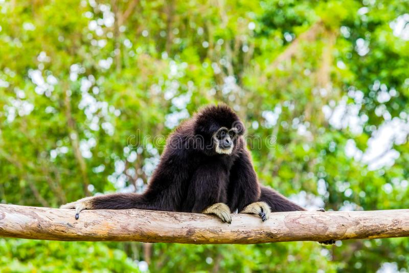 Witte overhandigde gibbonzitting in een boom stock afbeelding