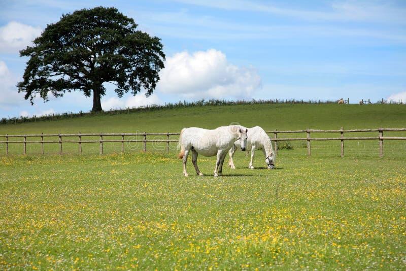 Witte Paarden stock afbeelding