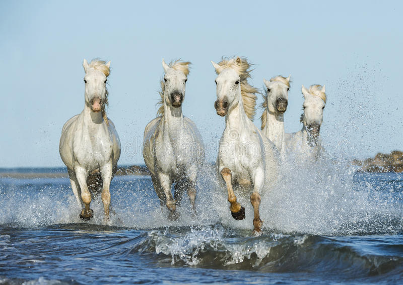 Witte paarden die in het water galopperen royalty-vrije stock fotografie