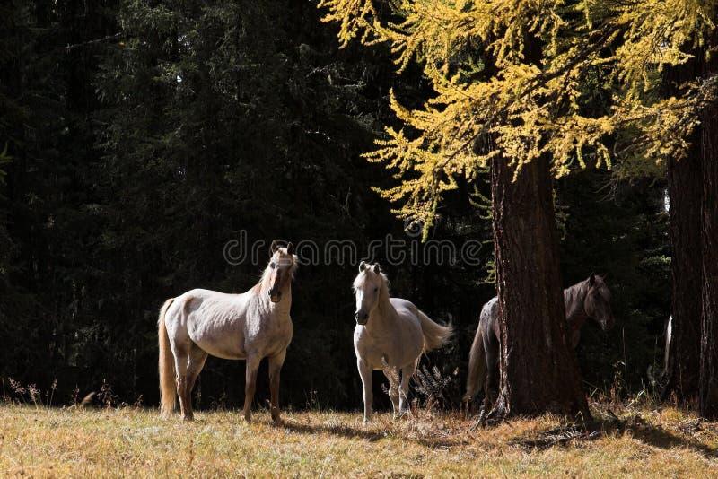 Witte paarden Het nemen van rust royalty-vrije stock afbeeldingen